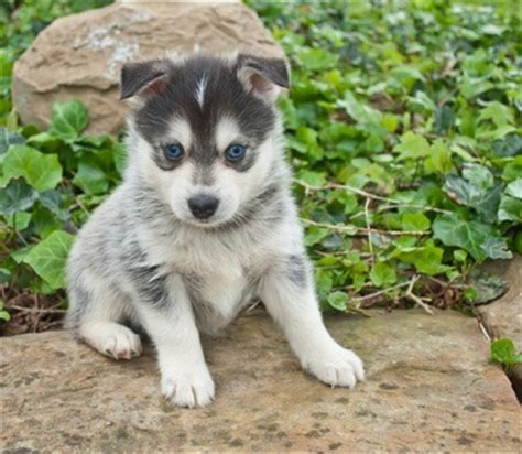 how many puppies do pomeranians in a litter how much do pomskies cost other facts about pomeranian huskies