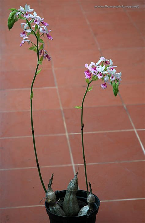 Photos Of Gardens calanthe orchids
