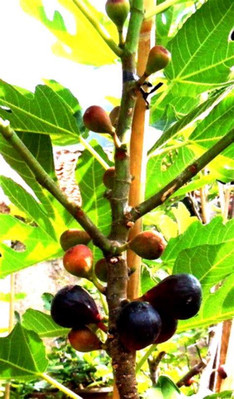 Jual Bibit Alpukat Australia dhelta jual bibit buah tanaman bibit buah tien