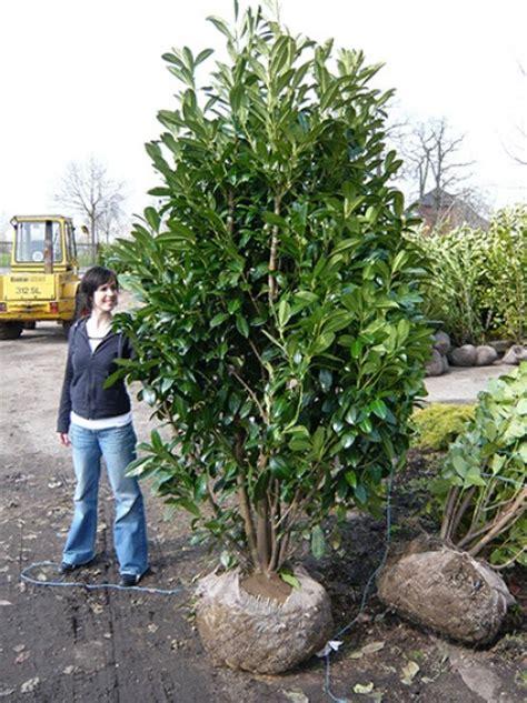 Kirschlorbeer Als Hecke 250 by Kirschlorbeer Caucasica Prunus Laurocerasus Caucasica