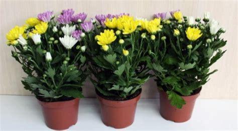 Tanaman Jadi Bunga Krisan Mix 1 ketahui 9 tanaman yang sanggup bersihkan udara di rumahmu