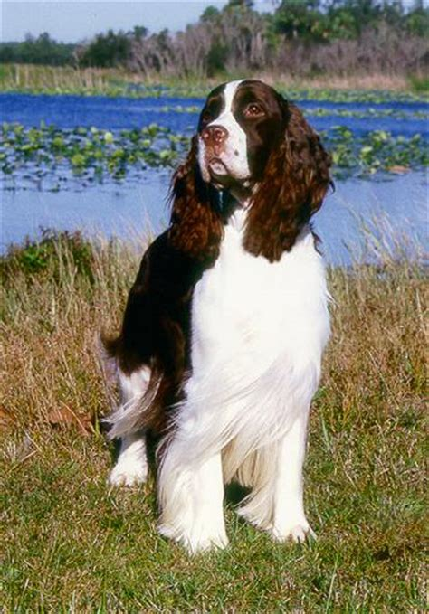 springer spaniel puppies florida ch tru tiger woods akc reg d springer spaniel owned by cathy and joe baker of