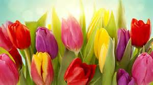 colors tulip flowers 2560x1600 wallpapers13