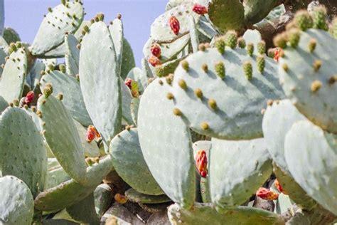 jenis tanaman kaktus hias