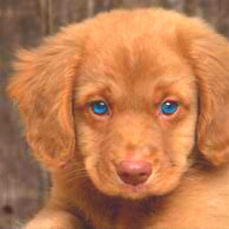 puppy with blue puppy with blue are the window to soul
