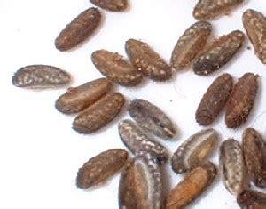insetto stecco alimentazione i fasmidi