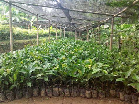 Jual Bibit Anggrek Kediri bibit tanaman manggis ungu daftar update harga terbaru