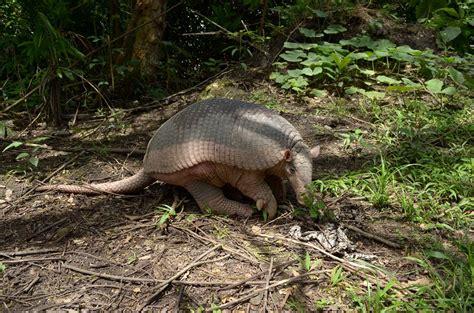 giant armadillo information habitat adaptations pictures