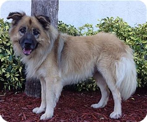 keeshond golden retriever mix boynton fl keeshond golden retriever mix meet teddy a for adoption