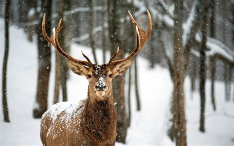 Snowing Deer deer landscapes nature trees forest woods winter snow