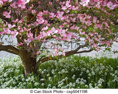 pictures of pink blooms adorn a dogwood tree in spring