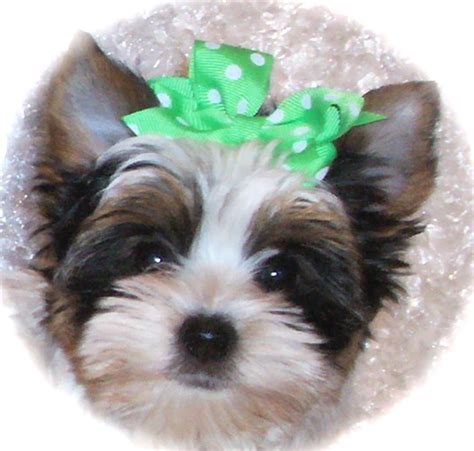 yorkie poo wisconsin biewer yorkie puppies for sale