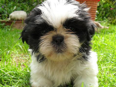 shih tzu purebred for sale bred shih tzu puppy crediton pets4homes