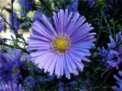 Blus Chamomile chamomile blue