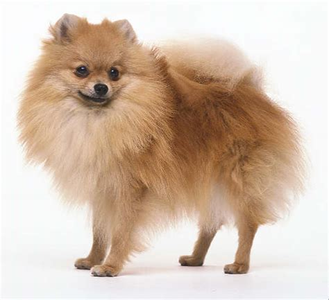 breed pomeranian breed profile pomeranian bradenton