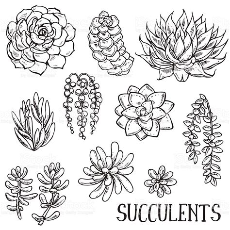hand drawn succulent plants vector set stock vector art