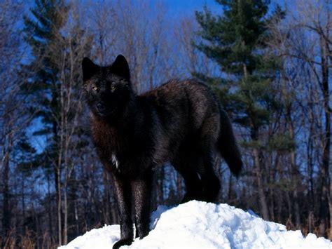 imagenes de negro lobo imagenes de lobos negros imagui