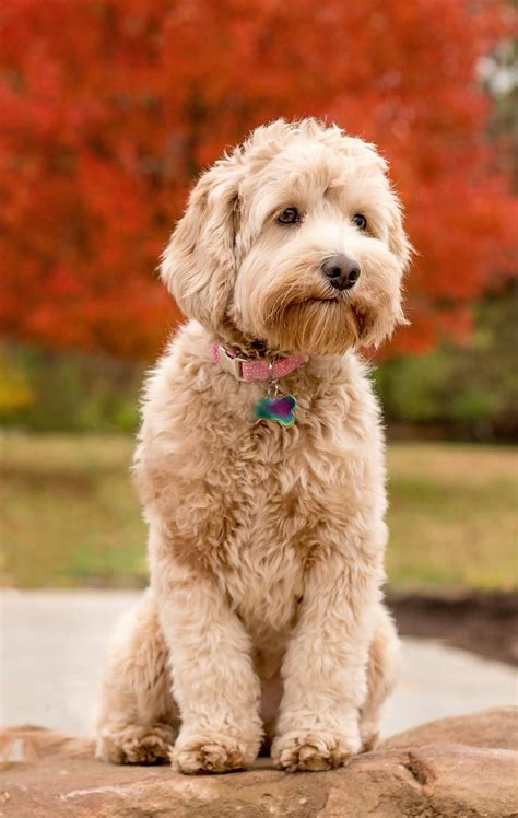 doodle puppies for sale in illinois australian labradoodle puppies illinois arch view