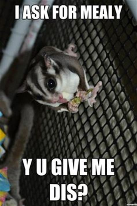 Sugar Meme - 1000 images about sugar gliders on pinterest sugar