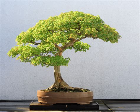 bonzi tree file trident maple bonsai 52 october 10 2008 jpg wikipedia