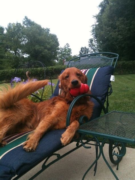 golden retriever rescue adoption of needy dogs 87 best lounging goldens images on animals golden retrievers and lounges