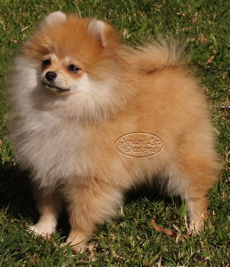pomeranian puppy food feeding poms a food diet pomeranian information and facts