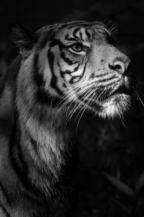 black and white tiger on Tumblr