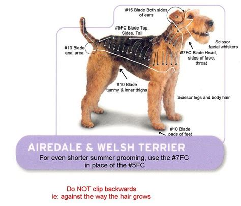 airedale cut airdale welsh terrier groom dog grooming pinterest