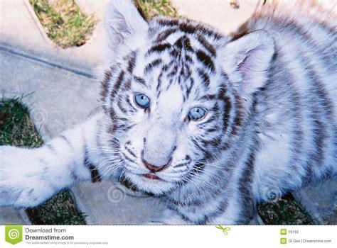 imagenes ojos de tigre tigre blanco del beb 233 en ojos azules foto de archivo