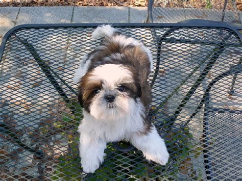 shih tzu puppies tennessee shih tzu puppies for sale in ga al fl tn nc sc for sale by breeders ga shih tzu