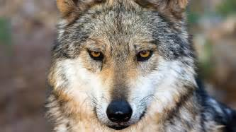 Wolf Wolf How The Wolf Became The Science Aaas