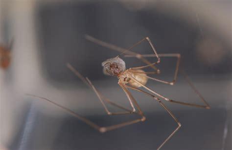 common basement spiders cellar spiders family pholcidae spidersrule