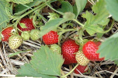 8 fruit hopkinton ma chief strawberry fragaria chief in boston