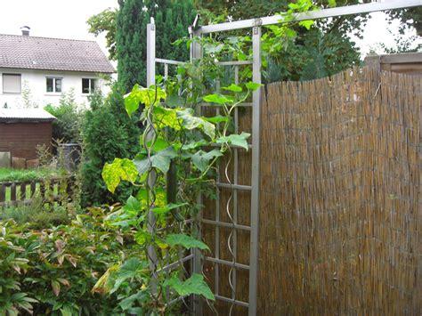 Gurken Pflanzen Balkon gurken pflanzen auf dem balkon oder terrasse krisenkueche de