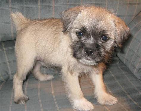 pug x fox terrier pug cross breeds cutest pug mix dogs complete list