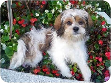 shih tzu puppies los angeles mcdreamy adopted puppy los angeles ca shih tzu pekingese mix