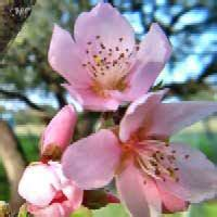 delaware state flower delaware state flower facts about peach blossom