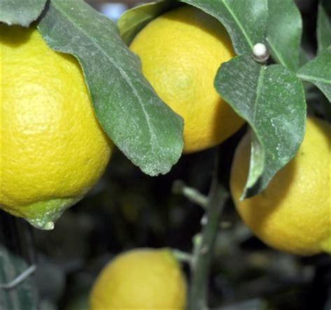 how to care for a tree at home how to care for lemon at home lemon tree care floriculture