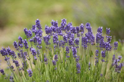 hardy lavender plants grow herbs and flowers in best 25 lavender plants ideas on growing lavender planting lavender outdoors and