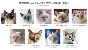 traditional siamese applehead thai color points chart