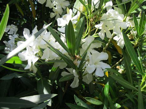 oleander plant nerium oleander white sloat garden center