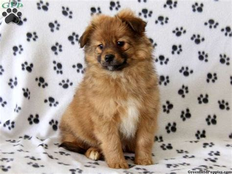 pomeranian and pitbull mix pitbull pomeranian mix puppies zoe fans baby animals