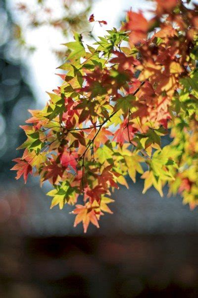 maple tree in early early leaf color change in trees reasons for leaves changing color early