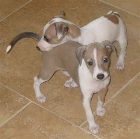 puppy in italian italian greyhound info temperament puppies pictures