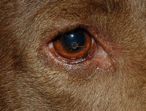 eye infection treatment best 25 cat eye infection ideas on cat eye problems eye infection