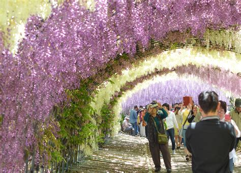 wisteria flower tunnel japan travel to kawachi fuji garden and wisteria tunnel in
