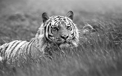 wallpaper hd black tiger black and white tiger wallpaper wallpapersafari
