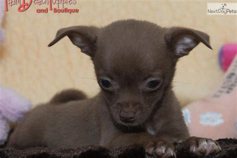 shorty puppies for sale in florida tiny teacup chihuahua puppies for sale to loving home breeds picture
