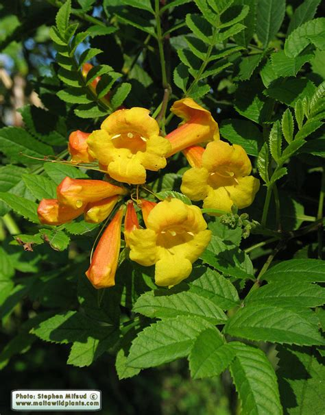 yellow trumpet flower shrub plants of malta gozo plant tecoma stans yellow