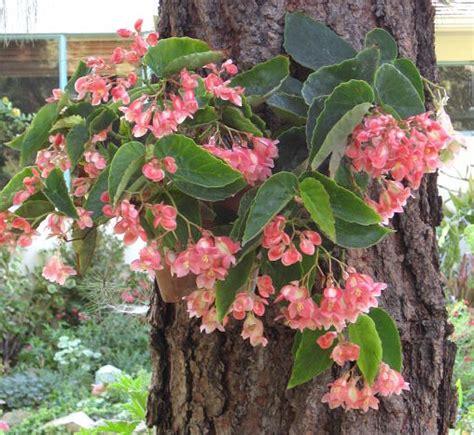 jenis tanaman hias begonia  perlu  ketahui